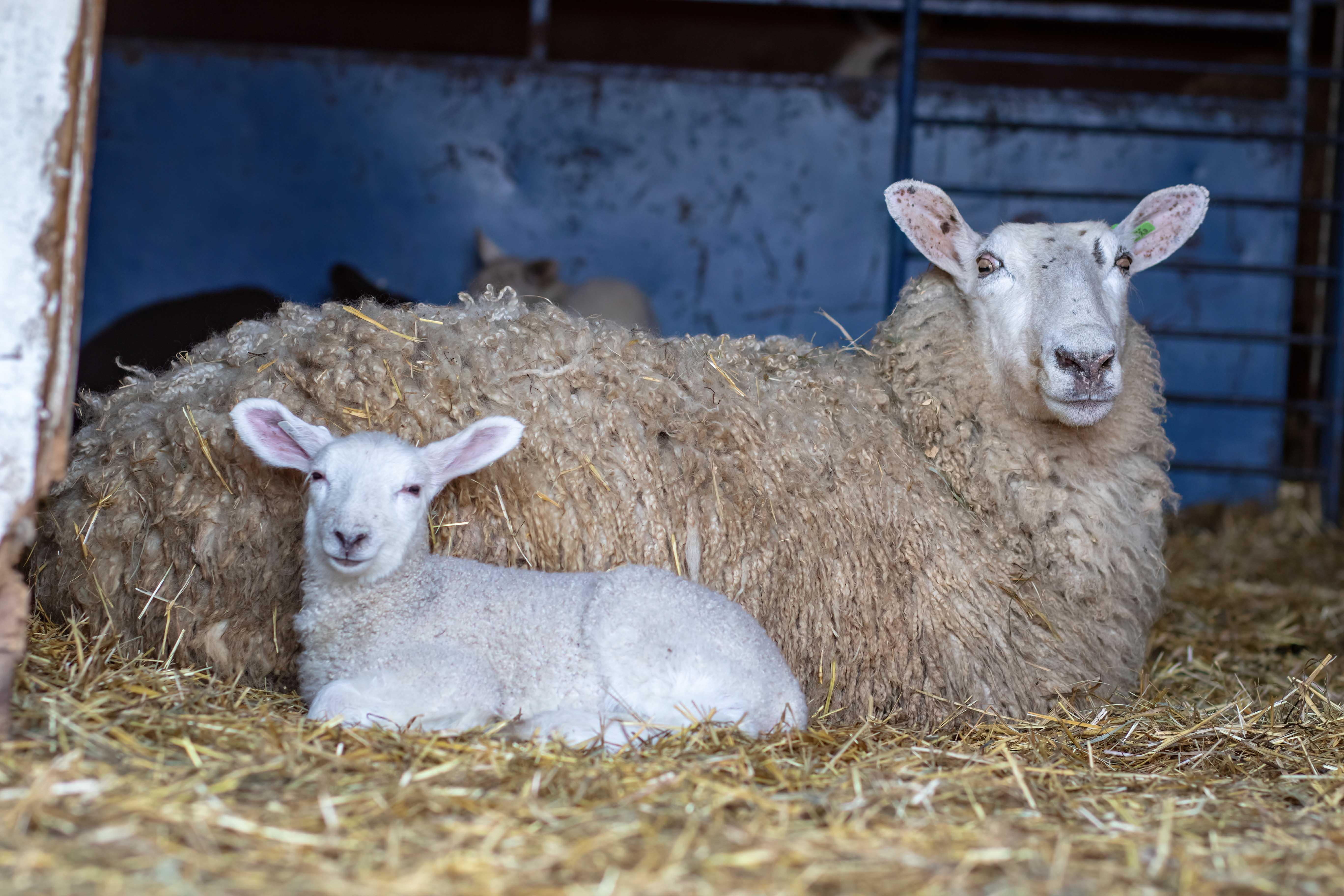Ewe And Lamb 19