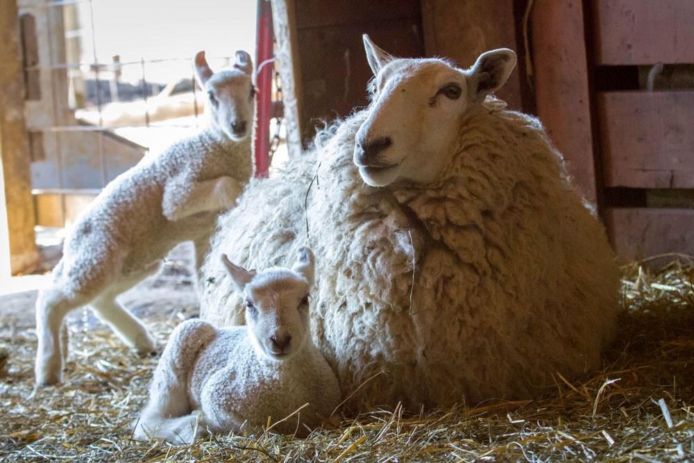 Ewe And Lambs Web